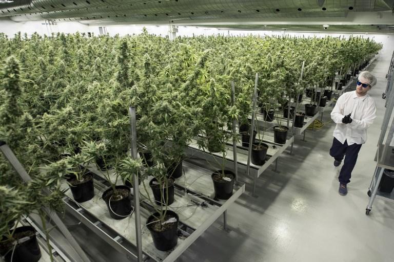 Les Français de plus en plus favorables à une autorisation régulée du cannabis