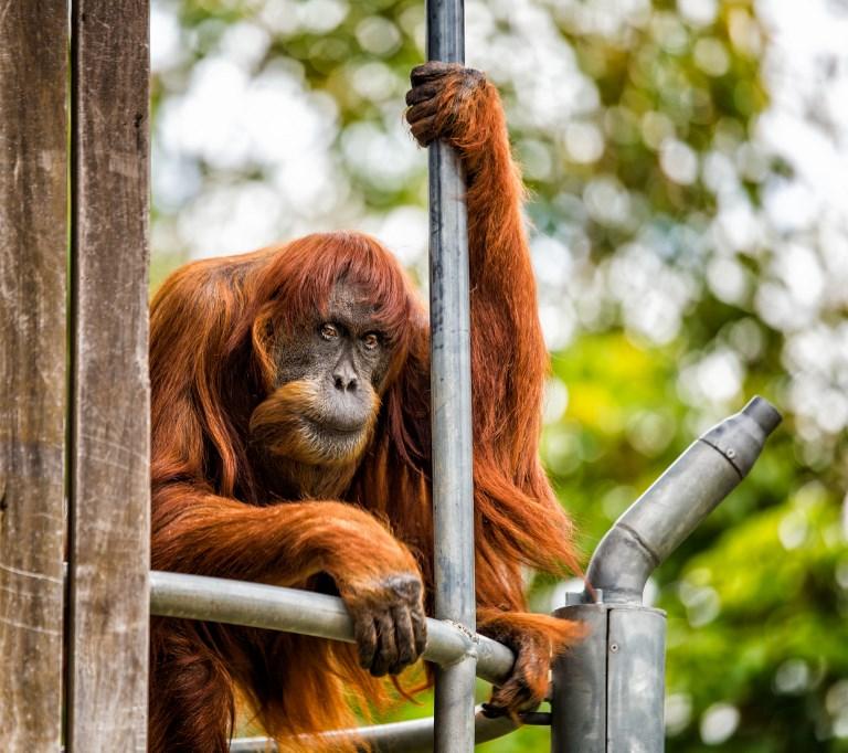 L'orang-outang le plus âgé du monde meurt dans un zoo australien