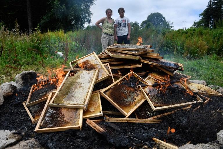 Désemparés, des apiculteurs contraints de réduire en cendres leurs abeilles