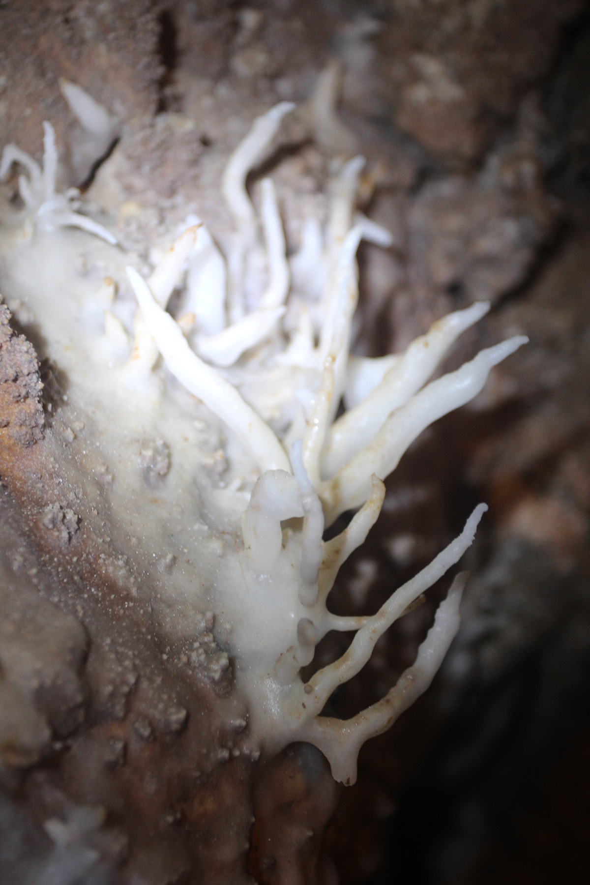 Une rareté géologique : cette petite sculpture en forme de branches de corail est une excentrique qui « pousse » verticalement, au gré d'imperceptibles courants d'air.