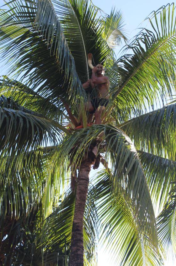 """Le grimpeur """"caché"""" dans son cocotier."""