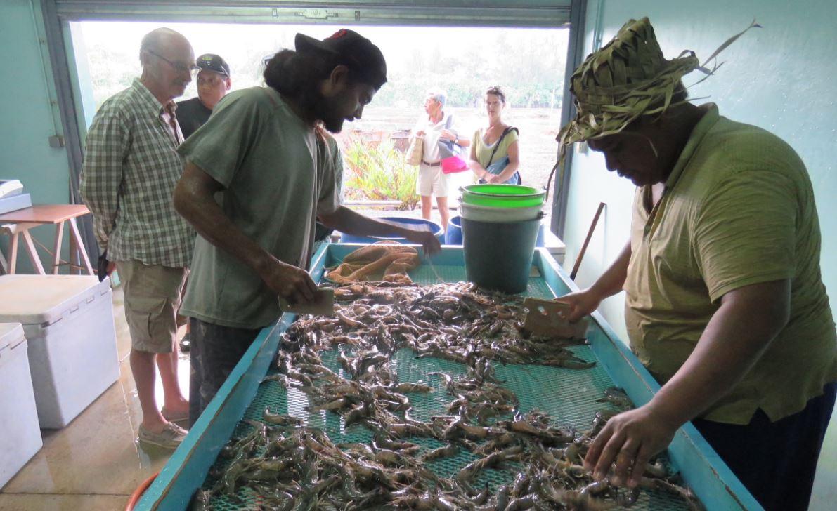 La ferme d'élevage de crevettes d'Opunohu génère une production annuelle de 15 tonnes de crevettes fraîches.