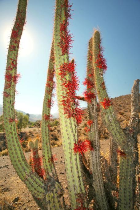 Autour de l'oasis que sont les Termas Jahuel, la végétation est dominée par les cactus cierge ; ceux-ci ne sont pas en fleurs, mais couverts d'un parasite rouge du plus bel effet.