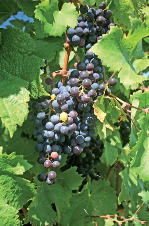 La région de Napier est littéralement cernée par les vignobles. Invitez donc les excellents crus de Napier à votre table. Avec modération…