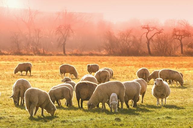 """Les éleveurs australiens face à la pire sécheresse en """"plus de 50 ans"""""""