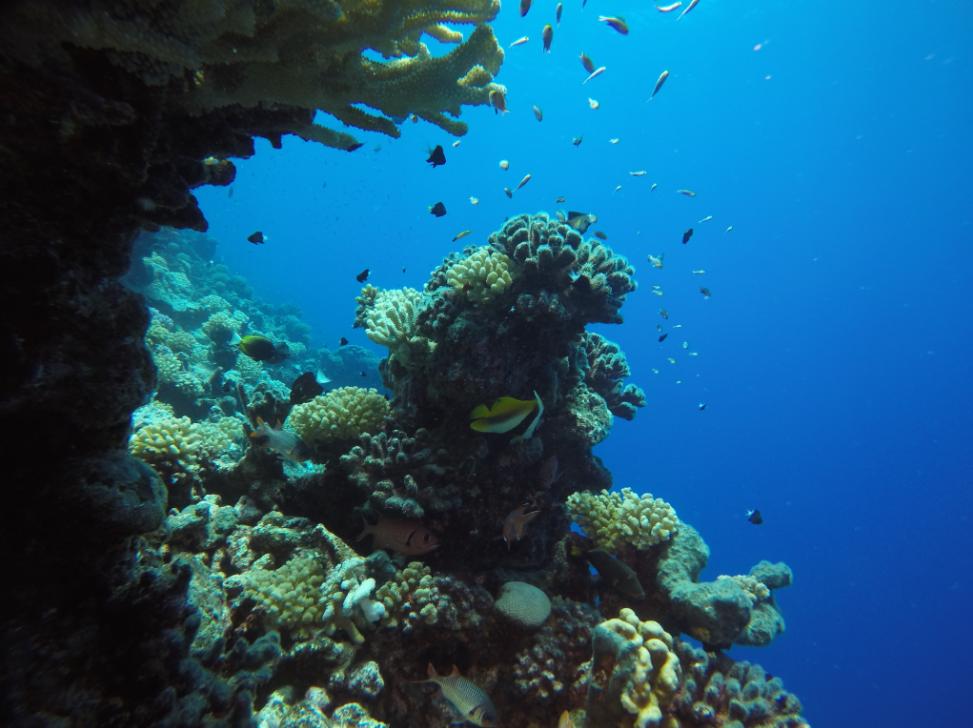 Le corail est en bonne santé à Manihi et les mesures de protection de la passe et de ses alentours devraient très largement favoriser la vie de la faune sous-marine.