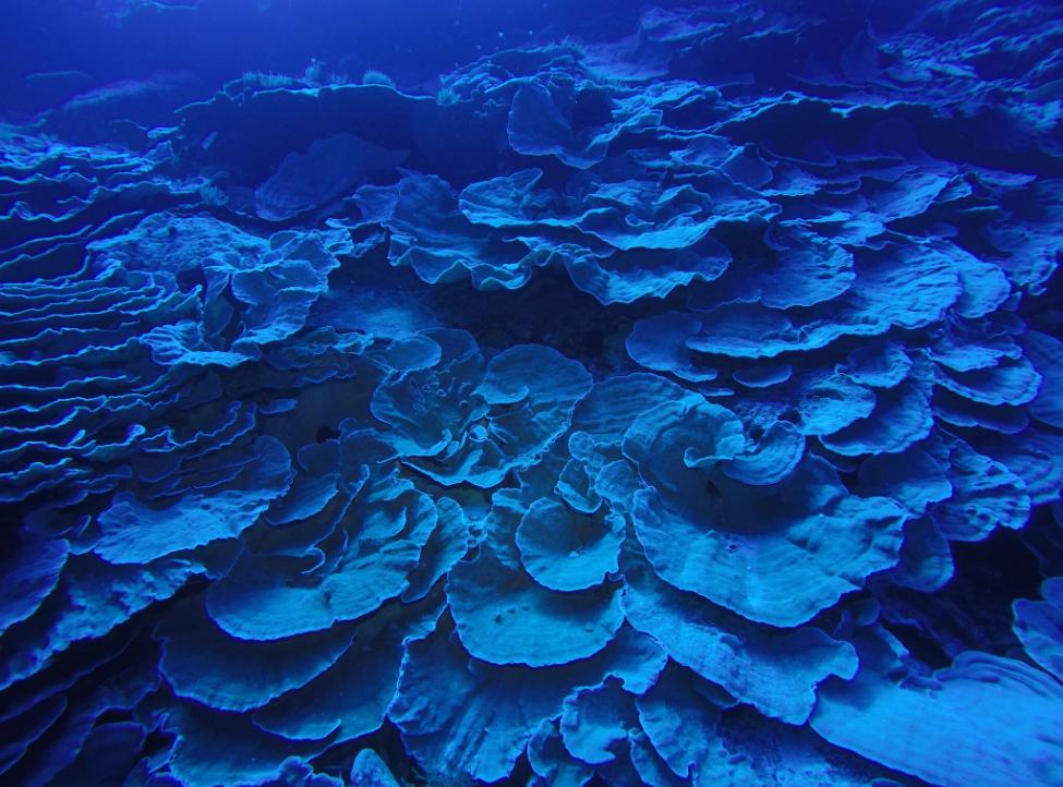 A un peu plus de quarante mètres de profondeur, d'énormes constructions de corail en forme de roses géantes attendent les plongeurs.