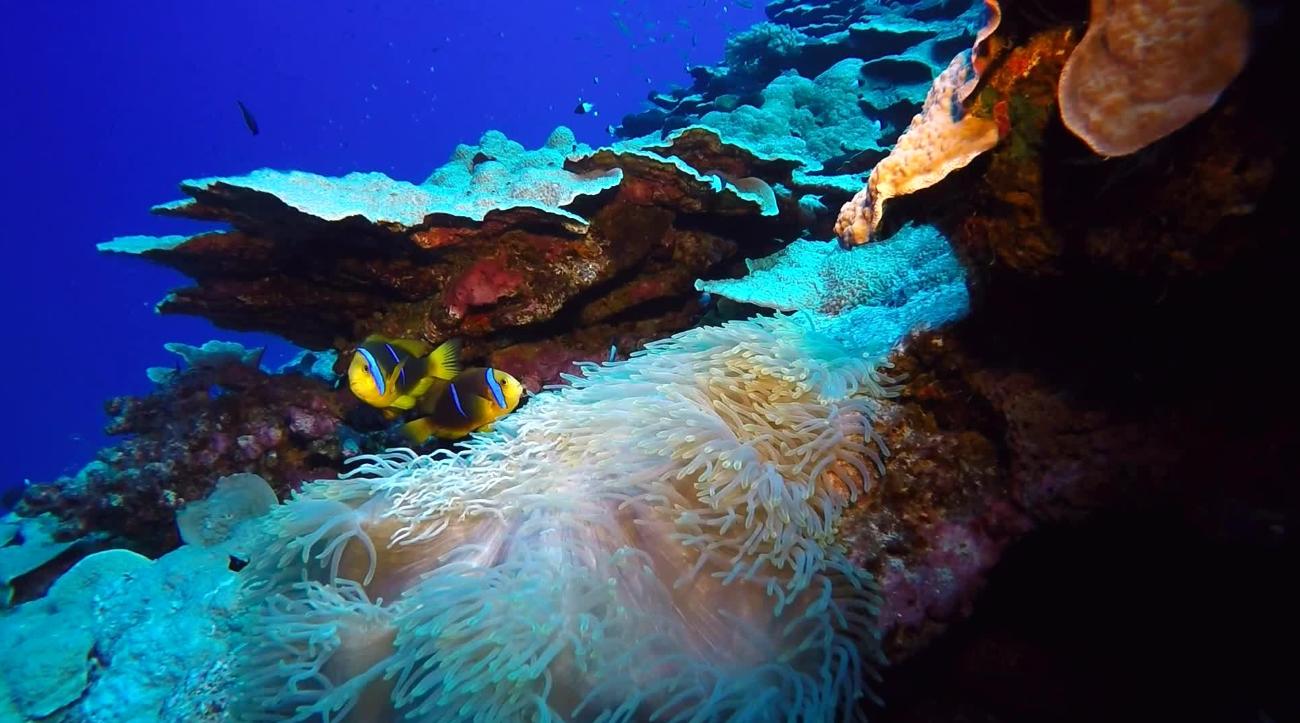 Eternelle association entre l'anémone de mer et les petits poisons-clowns.