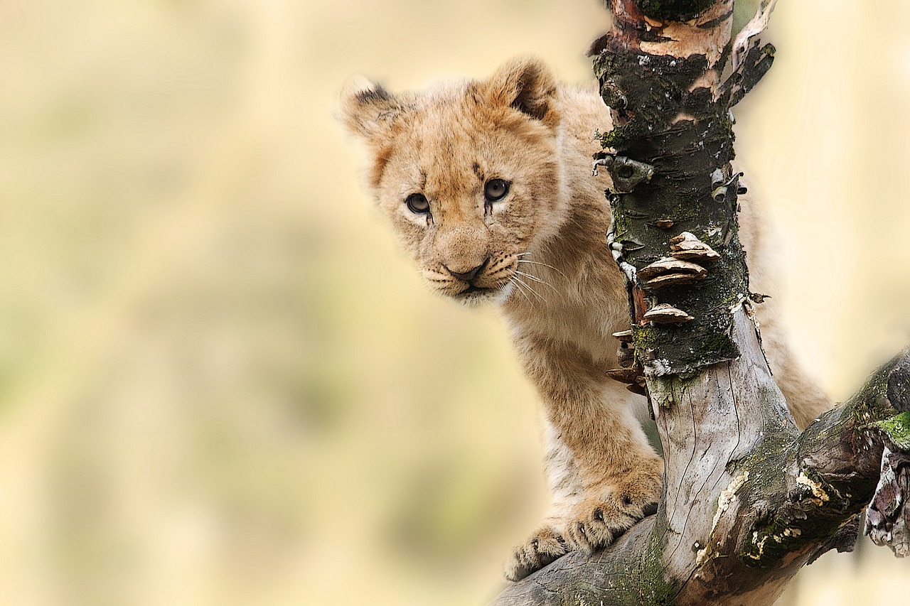 Le lionceau découvert dans un appartement de banlieue parisienne relâché en Afrique du Sud