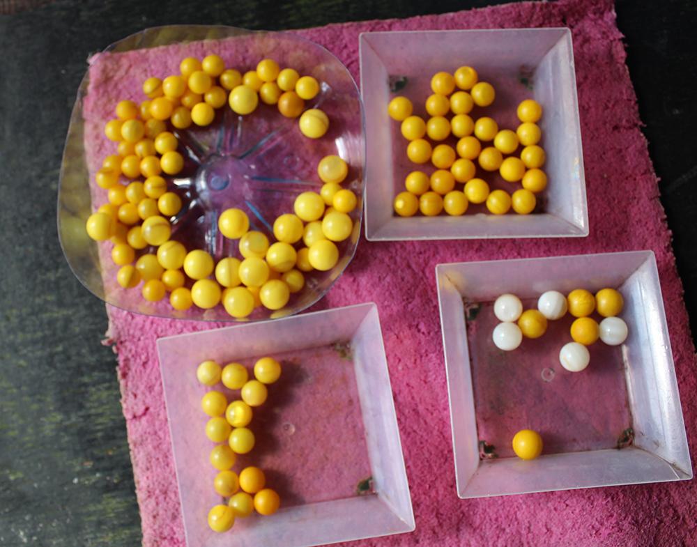 Ces petites billes jaunes sont les nucléus qui seront greffés dans les nacres.