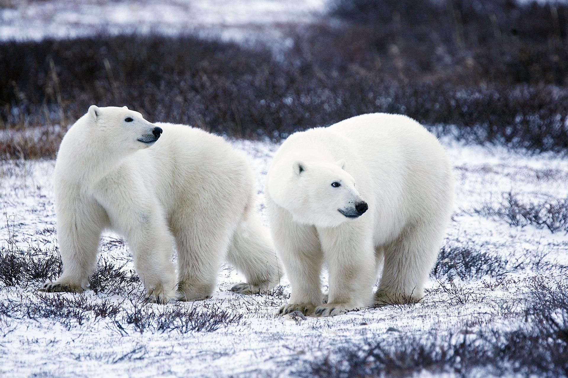 Canada: un chasseur inuit tué dans l'Arctique par un ours polaire