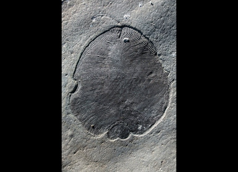 Le plus ancien animal sur Terre était ovale et plat, il y a 558 millions d'années