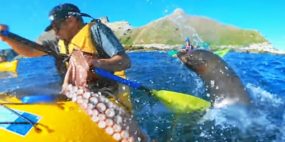 Tiens, prend ça! Une otarie gifle un kayakiste avec un poulpe