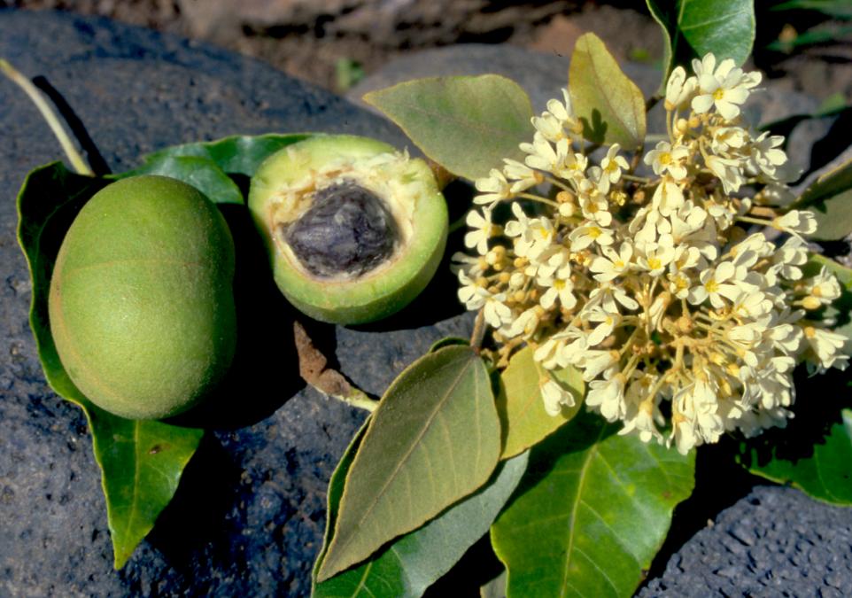 Aleurites moluccana. Le bancoulier (ti'a'iri) servait notamment à éclairer les fare, grâce à ses fruits enfilés sur une nervure de palme de cocotier.