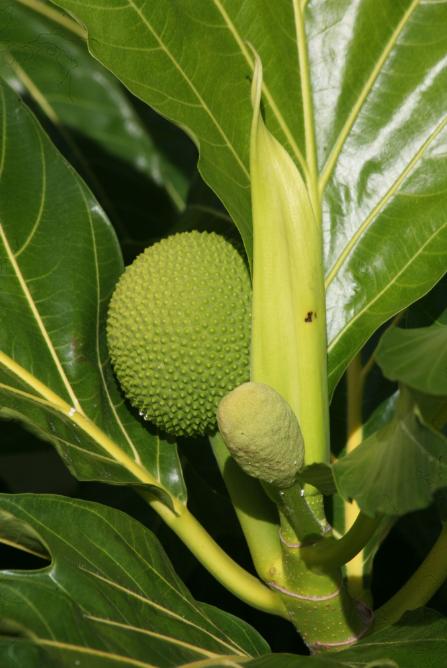 Artocarpus altilis. L'arbre à pain ('uru, maiore) a été domestiqué par les Polynésiens qui ont su multiplier les variétés sans graines.