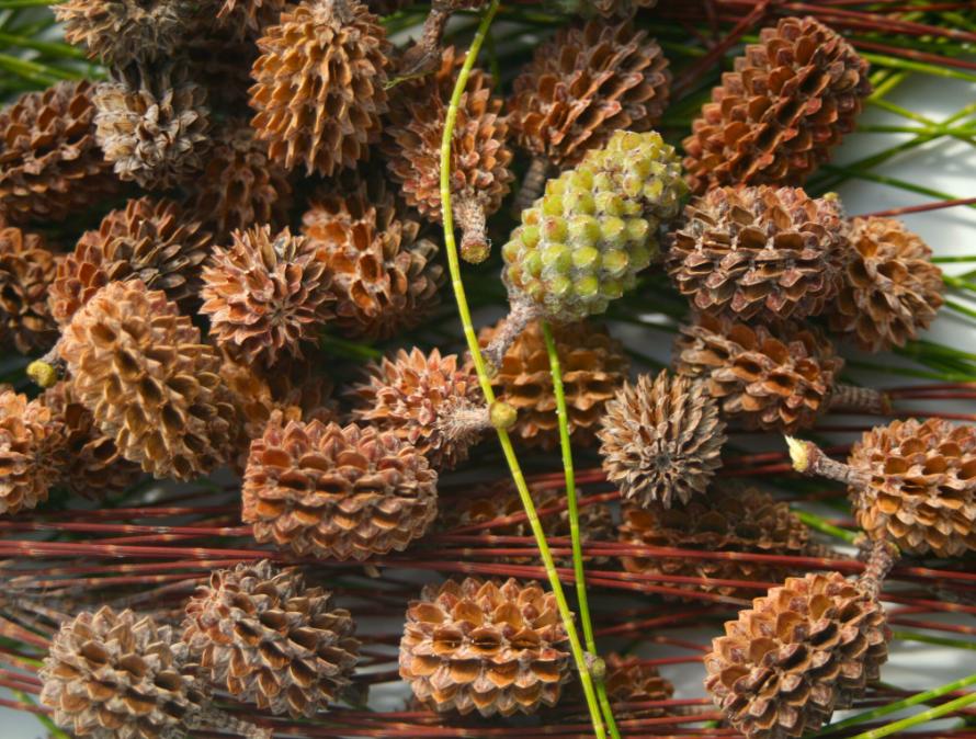 Casuarina equisetifolia. Le bois de fer ('aito, toa) était un fournisseur d'outils et notamment d'armes pour les anciens.