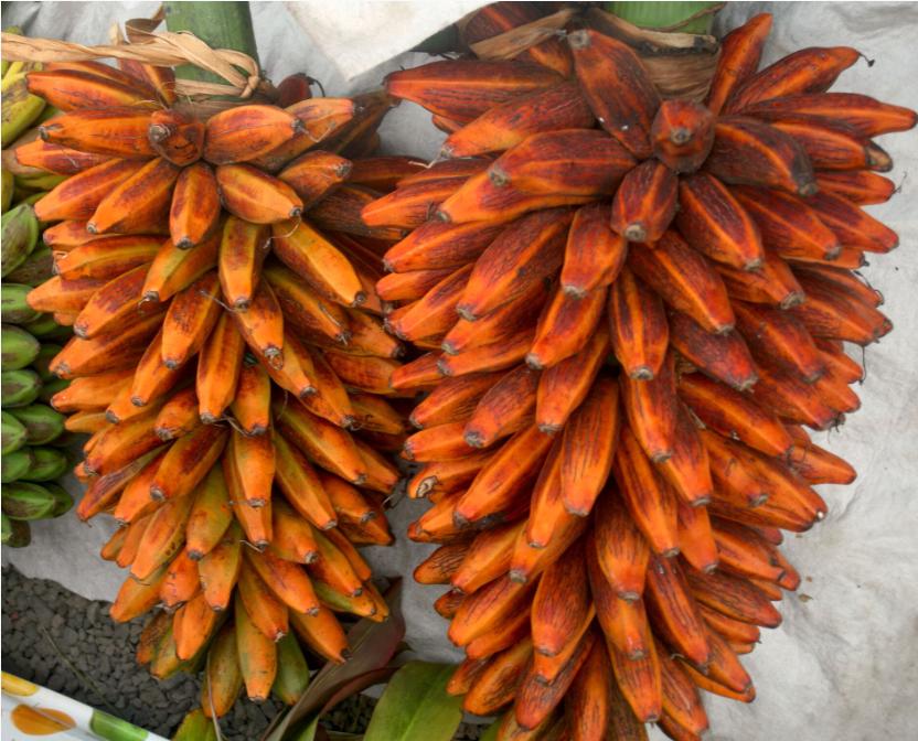 Musa troglodytarum. Le plantain de montagne (fe'i) a été amené sur les grands va'a des premières migrations et s'est adapté aux îles hautes.