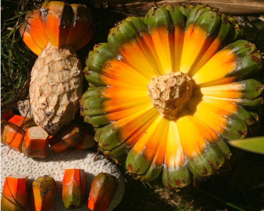 Pandanus tectorius. Le pandanus (fara) est devenu une plante indispensable pour le tressage ; son fruit était également consommé dans les périodes de disette.