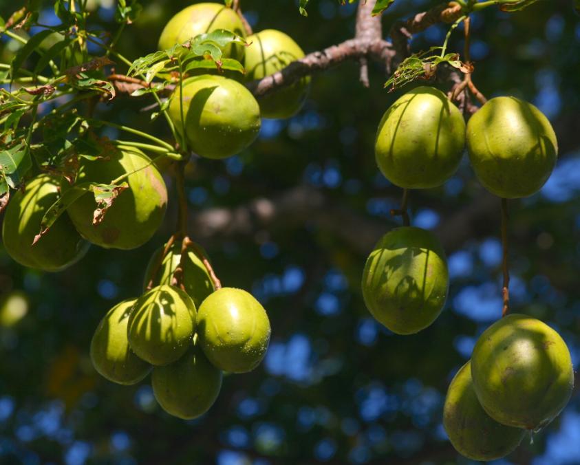 Spondias dulcis. La prune de Cythère (vi Tahiti) a été largement remplacée en tant que fruit par la mangue lors de son introduction par les Européens.