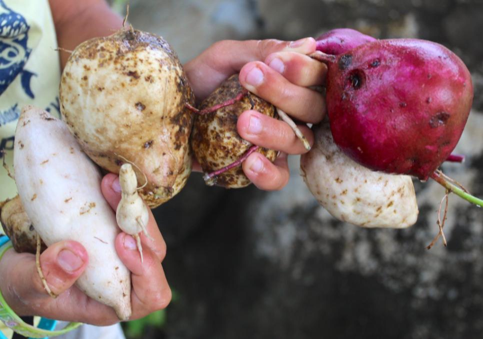 Ipomoea batatas. L'origine sud-américaine de la patate douce ('umara en tahitien, kumara en quechua) ne fait plus aucun doute. Mais qui l'a introduite dans nos îles ?
