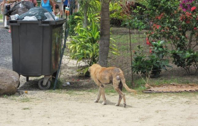 Faa'a : l'interdiction du nourrissage des animaux errants confirmée en justice