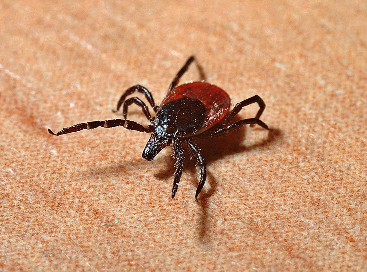 """Une """"tiquothèque"""" pour connaître l'insecte suceur de sang"""