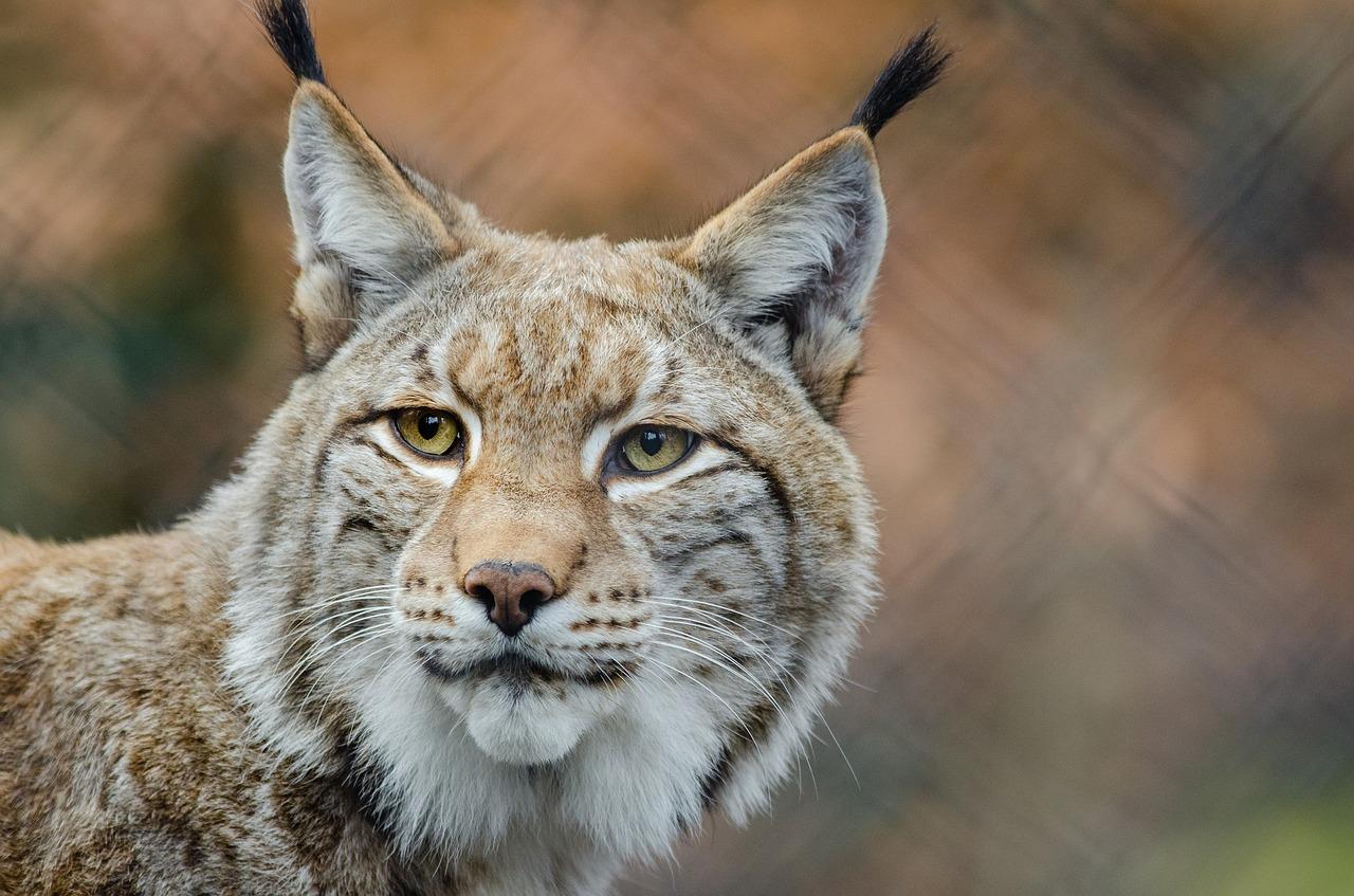 Quatre Lynx relâchés dans le Jura, après un sauvetage épique