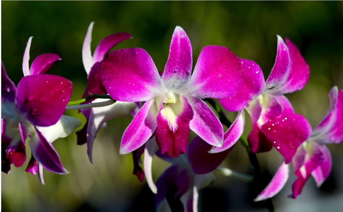 A Tahiti, le marché est dominé par la fleur coupée, les acheteurs d'orchidées en pots étant finalement assez peu nombreux. Ici des fleurs de dendrobium.