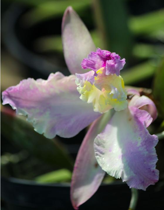Cette fleur de cattleya capricieuse a décidé de vivre à l'envers !