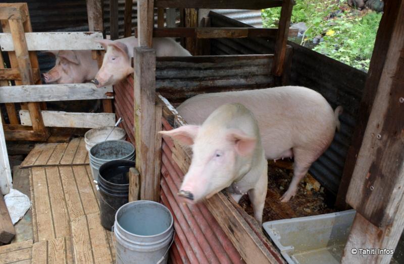 Les quatre cochons au cœur de la querelle