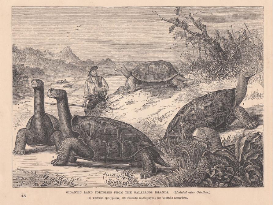 Gravure ancienne montrant les tortues terrestres des Galapagos ; celle au premier plan, avec la carapace relevée sur le cou, ressemble à certaines selles de cheval utilisées en Espagne ; beaucoup ont cru que c'étaient les selles qui avaient donné leur nom (galapagos) à l'archipel, alors que c'est exactement le contraire.