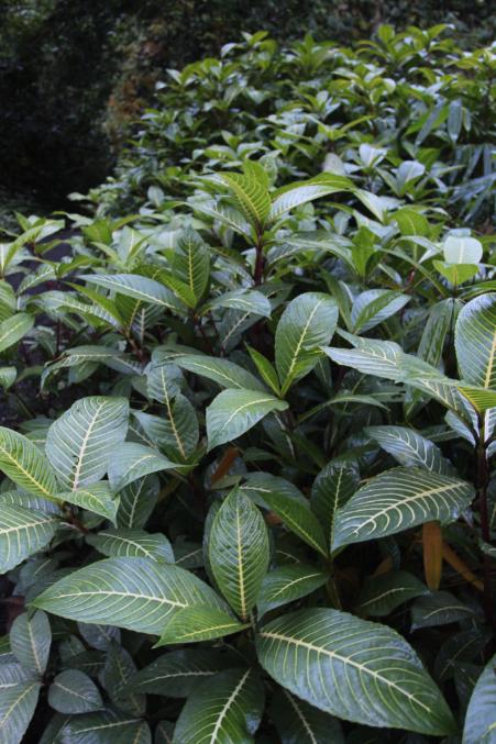 Inflorescence de Sanchezia speciosa ; il reste à espérer que ces plantes envahissantes demeurent stériles, ce qu'elles sont en général lorsqu'elles sont cultivées. Mais là, elles sont redevenues sauvages…