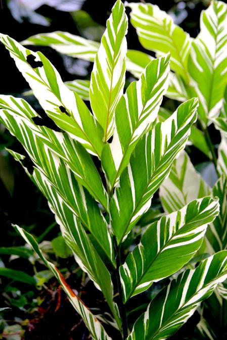 Alpinia vittata est une Zingibéracée reconnaissable à son splendide feuillage.