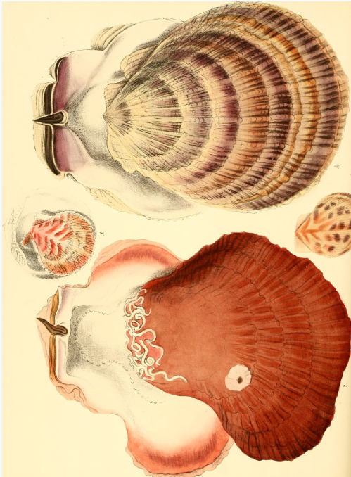 Superbe planche extraite de « Conchologia iconica », le livre référence de Reve, paru en 1843.