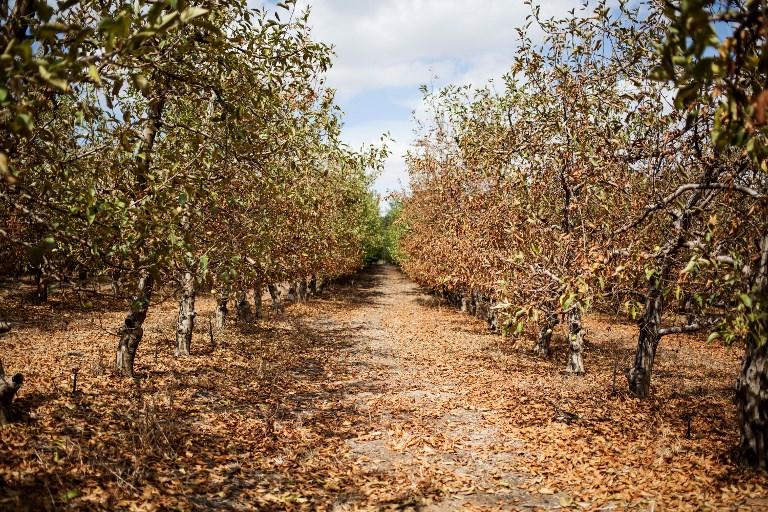Contre la sécheresse, Le Cap devrait déraciner les arbres non indigènes