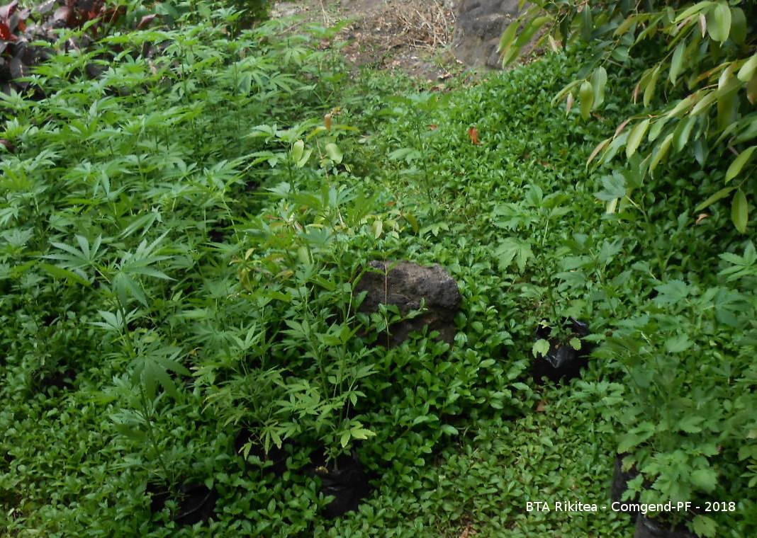 250 plants de cannabis saisis à Rikitea