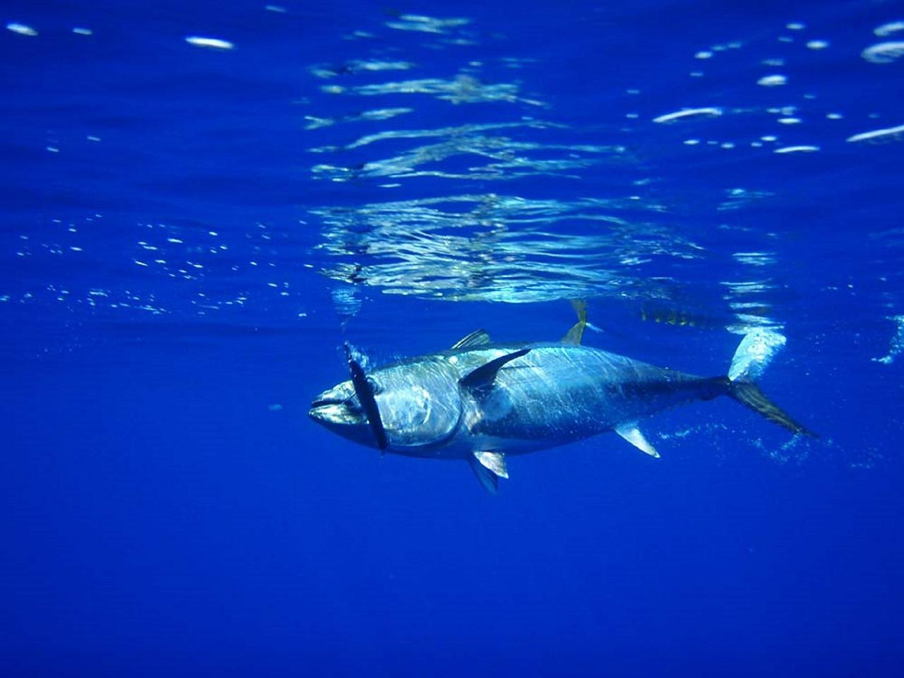 Pas de répit pour le thon obèse, mal en point, dans l'Atlantique