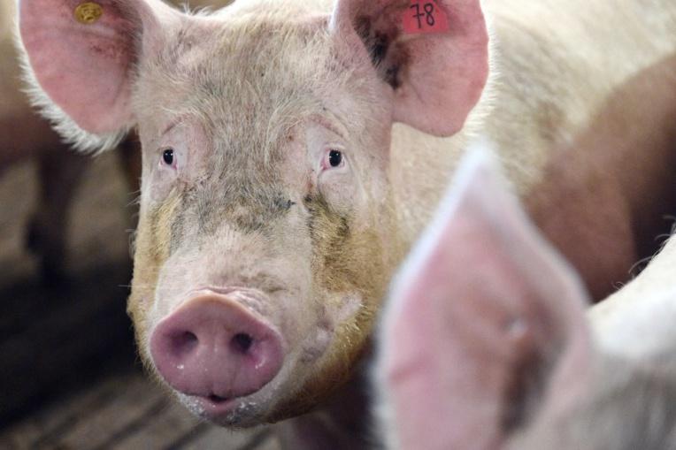 Des centaines de cochons entiers volés pendant 6 ans