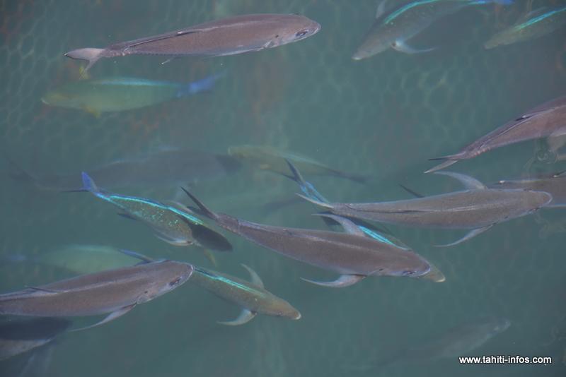 """Marina de Papeete : """"On ne peut accepter les conditions de détention de ces poissons"""""""