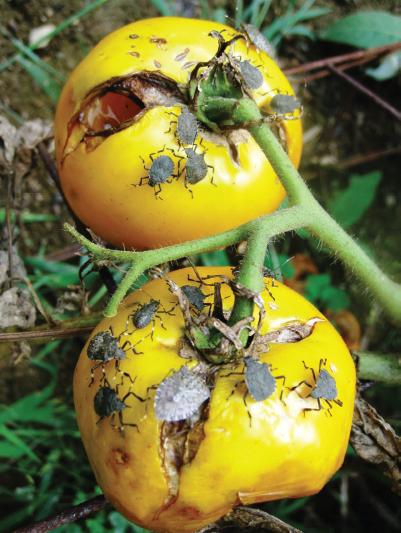 La punaise diabolique et son repas de tomates (crédit photo : Journal of Integrated Pest Management, Volume 5, Issue 3, 1 September 2014)