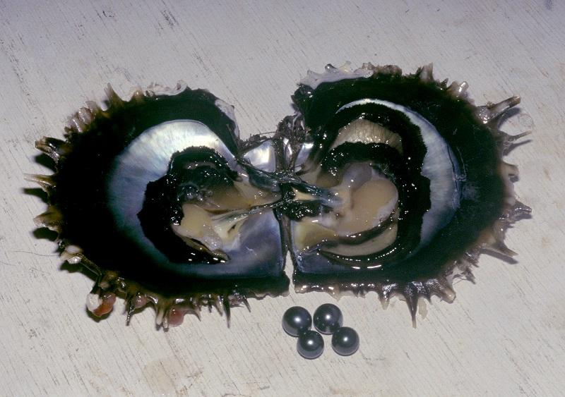 L'huître aux lèvres noires...