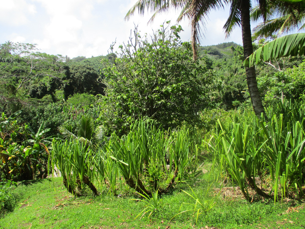 Rurutu: Un sentier « vert » entre rivière et tarodières traditionnelles