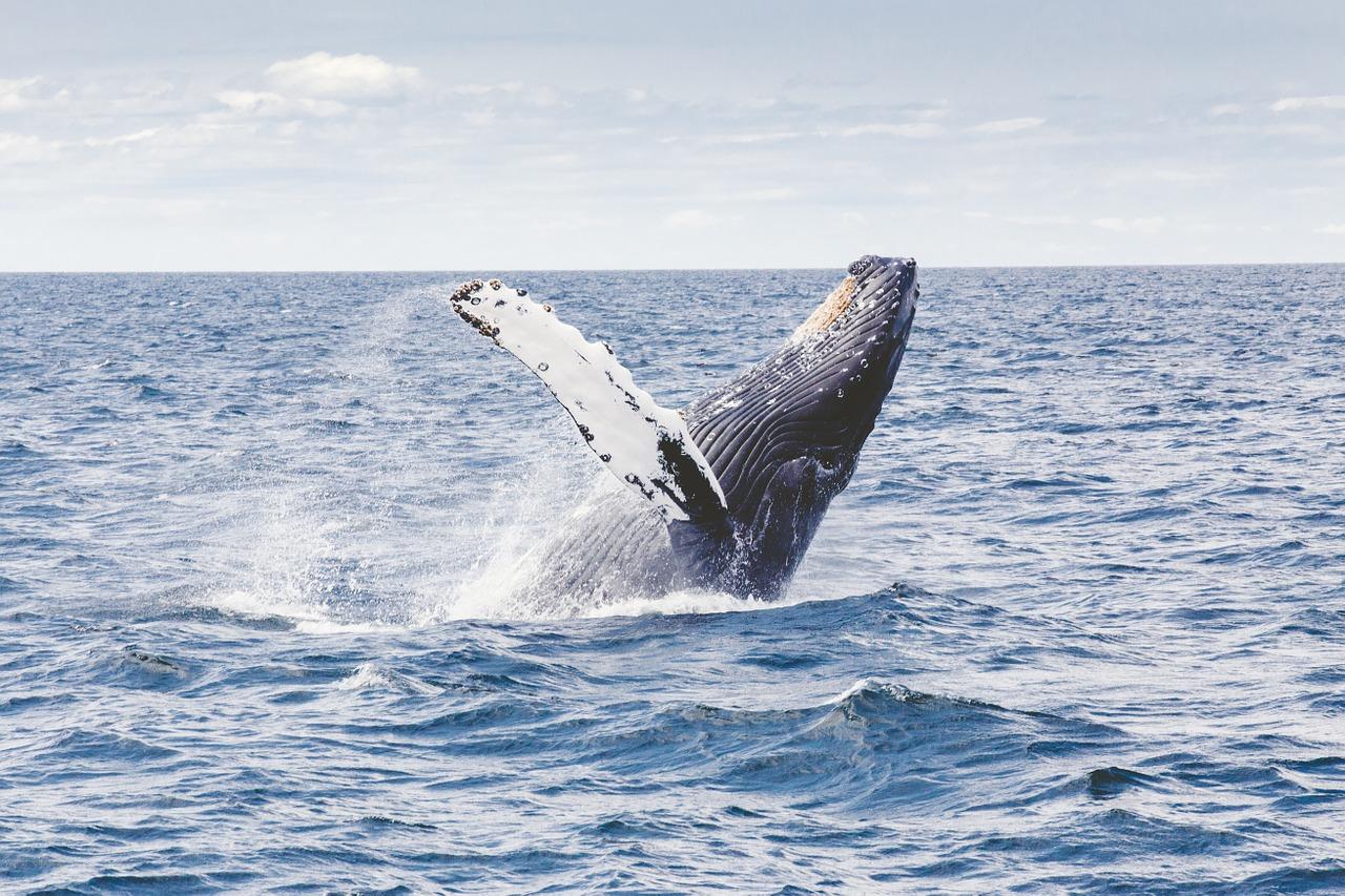 Baleine: le Japon étudie son retrait de la CBI pour relancer la pêche commerciale
