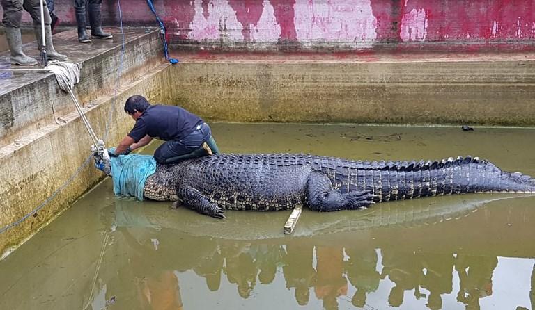 Indonésie: un crocodile apprivoisé dévore une femme