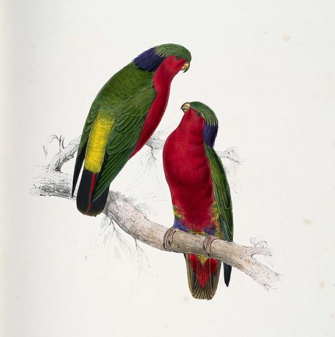 Cette gravure ancienne représente un couple de lori de Kuhl (vini ura), petite perruche  protégée par un tabu de la reine Tamaeva V depuis 1900.
