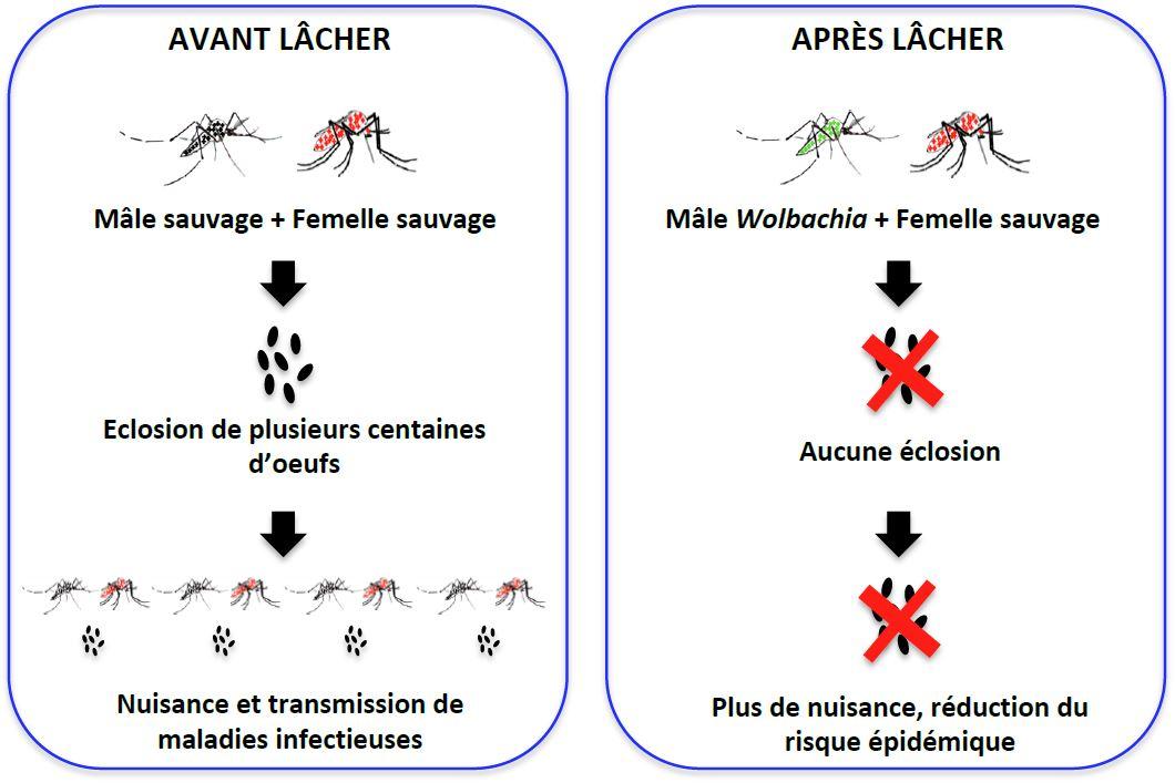Le principe de la Technique de l'insecte incompatible (Source ILM).