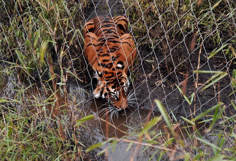 Le zoo de Londres se défend après la mort d'une tigresse blessée par un tigre