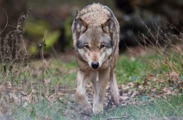 """Var: un loup au """"comportement agressif"""" abattu près d'un camping"""