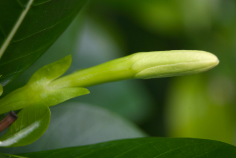 """""""Umoa tea"""" : le bouton floral est maintenant très dégagé des sépales."""