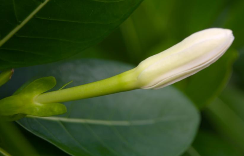 """""""Ua pua te tiare"""" ; la fleur est quasiment là ; les hommes peuvent l'arborer sur l'oreille."""